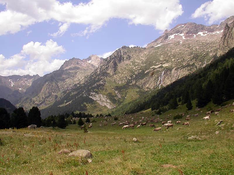 Campo con vacas en el Vall de Estos